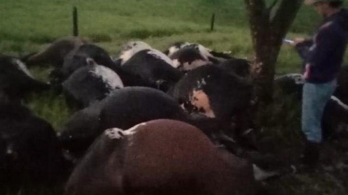 Un rayo mató a 18 vacas en zona veredal de Montenegro, Quindío