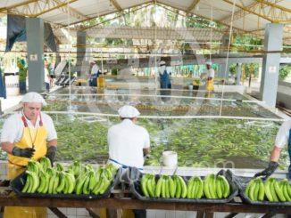 Preocupación en el gremio bananero por los sobrecostos, temen por el futuro de la industria