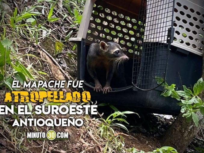 Liberaron a un mapache en Titiribí