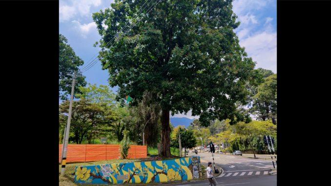 ¡Intocable! Un árbol de 50 años de edad se quedará en la avenida 34 de Medellín