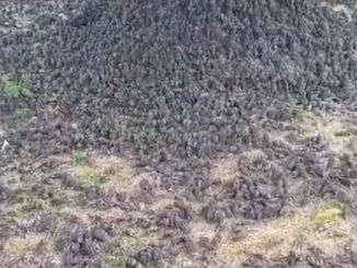 Hallaron cientos de aves muertas en un cementerio