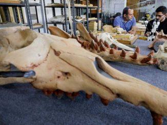 ballena de cuatro patas