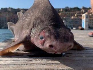 extrana criatura marina pez cerdo