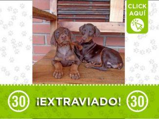 perros perdidos copacabana