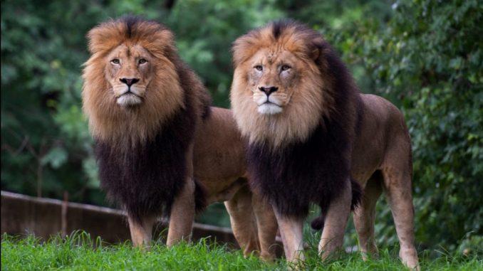 Zoológicos de Estados Unidos comenzaron a vacunar contra el Covid a los animales