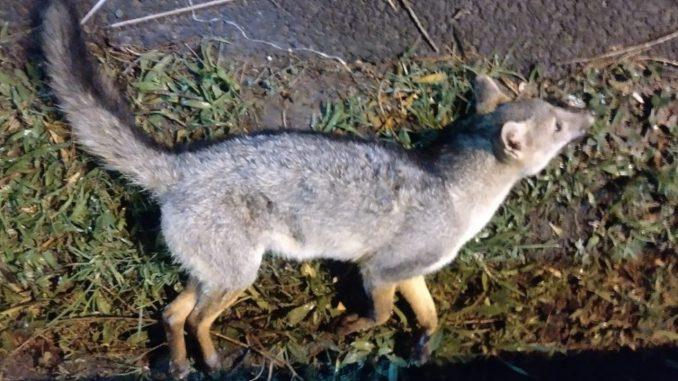 ¡Qué pesar! Atropellaron un zorro en la vía al aeropuerto de Rionegro