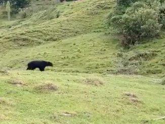 oso de anteojos caicedo antioquia