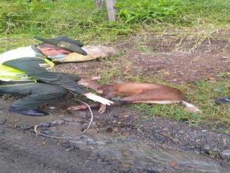 Rescataron un venado que había sido atacado por perros